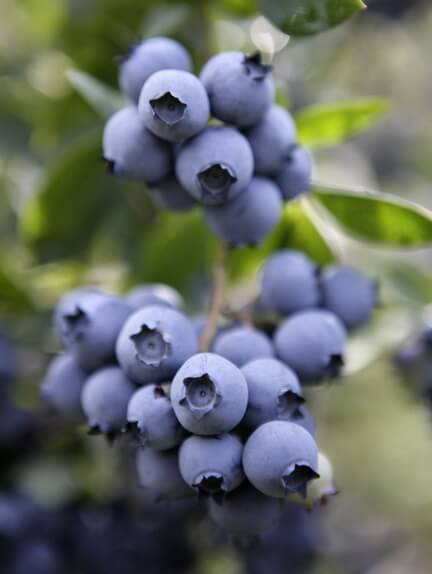 blueberriesjpg-163fe1de331a803e_large